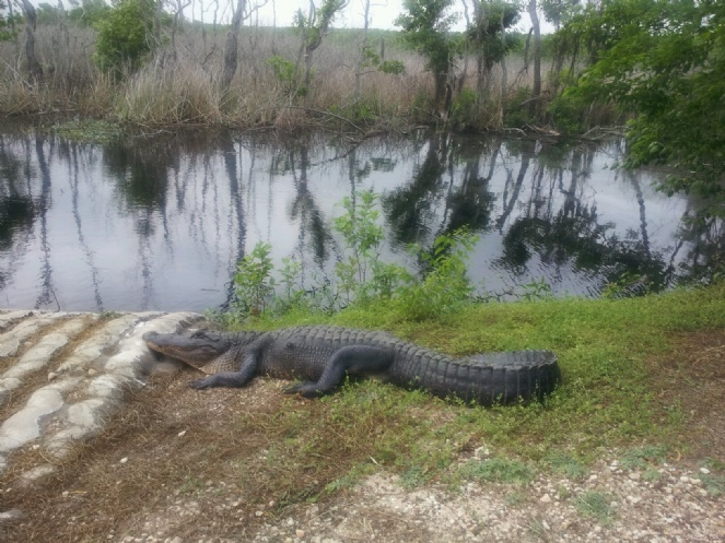 Alligator at Brazos State Park